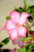 Desert rose, Mock Azalea, Pinkbignonia or Impala lily (Adenium obesum) tropical flowers. — Stock Photo