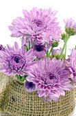 Purple Chrysanthemum Flowers. — Stock Photo