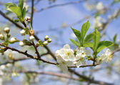 Spring flowers of fruit tree — 图库照片