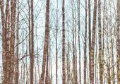 Birch trunks against the sky — Stock Photo