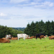 Beautiful scenery of a field and hills landscape with cows — Stock Photo