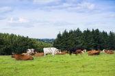 Piękne krajobrazy, pola i wzgórza krajobrazu z krów — Zdjęcie stockowe