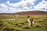 Alpackor på altiplano. bolivia. sydamerika. äta gräs. blå himmel, grönt gräs, berg. — Stockfoto