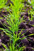 Cultivo de invierno plantado en el campo — Foto de Stock