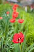 Field of Corn Poppy Flowers Papaver rhoeas in Spring — Stock Photo