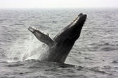 Humpback Whale Breaching — Stock Photo