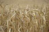 Grain background — Stock Photo