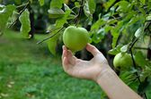 Human Collecting apple — Stock Photo
