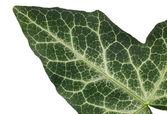 Macro shot of a green leaf texture — Stockfoto