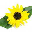 Beautiful Sunflower with Green Leaves Isolated on White — Stock Photo #50464905