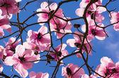 Magnolia trees in blossom — Stock Photo