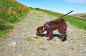 Dog Walking — Stock Photo
