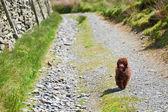 Miniature Poodle — Stock Photo