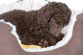 Miniature Poodle Puppy In His Bed — Stock Photo
