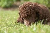 Miniature Poodle Puppy — Stock Photo