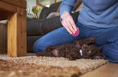 миниатюрный пудель щенок — Стоковое фото