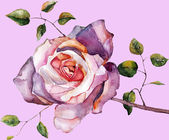 Violet rose on a purple background — Stock Photo