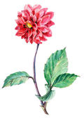 Watercolor illustration of dahlias flower — Stock Photo