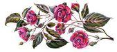 Roses blossom — Stock Photo