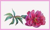 розовый пион — Стоковое фото