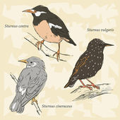 Asian Pied Starling, European Starling, Grey Starling — Vettoriale Stock