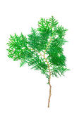 Spruce tree isolated on white — Stock Photo