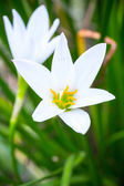 Pluie lily blanc (zephyranthes candida) — Photo