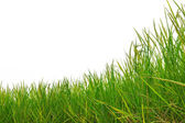 Green rice paddy on a white background — Stock Photo