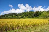 Yellow,Terraced Rice Field in Chiangrai, Thailand — Stock Photo