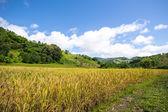 Yellow,Terraced Rice Field in Chiangrai, Thailand. — Stock Photo