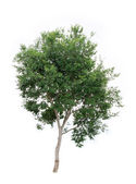 Tree on a white background — Stock Photo