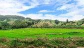 Green Terraced Rice Field in Chiangrai, Thailand — Stock Photo
