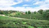 Piantagione di tè in Thailandia — Foto Stock