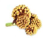 Araliaceae — Foto de Stock