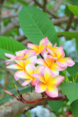 Branch of tropical flowers frangipani (plumeria) — Stock Photo