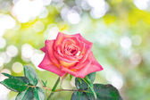 Rose flowers — Stockfoto