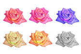 Rose flowers — Stock fotografie