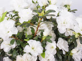White Azalea flower — Stock Photo