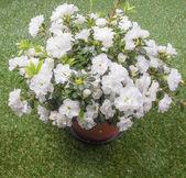 белая азалия цветок — Стоковое фото