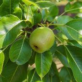 Pear fruit — Foto de Stock