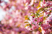 Cherry blossom branch with pink bokeh in background. — Foto de Stock
