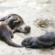 Oriental small-clawed otters — Stock Photo #50853323