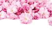 Sakura flowers on white background, focused on front flower — Foto de Stock