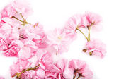 Sakura flowers on white background. — ストック写真