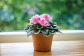 Flor violeta rosa en olla sobre fondo verde bokeh — Foto de Stock