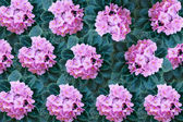 Pink violet flowers with green leaves background — Foto de Stock
