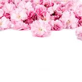Sakura flowers on white background — Foto de Stock