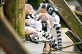 Ring-tailed lemur's family.  — Stock Photo