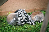 Group of ring-tailed lemur. — Stock Photo