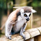 Ring-tailed lemur. — Stock Photo